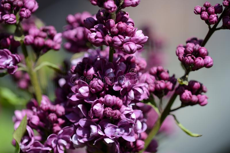 Beautiful lilac begins to bloom in the garden on a sunny spring day. Beautiful lilac begins to bloom in the garden on a bright sunny spring day royalty free stock images