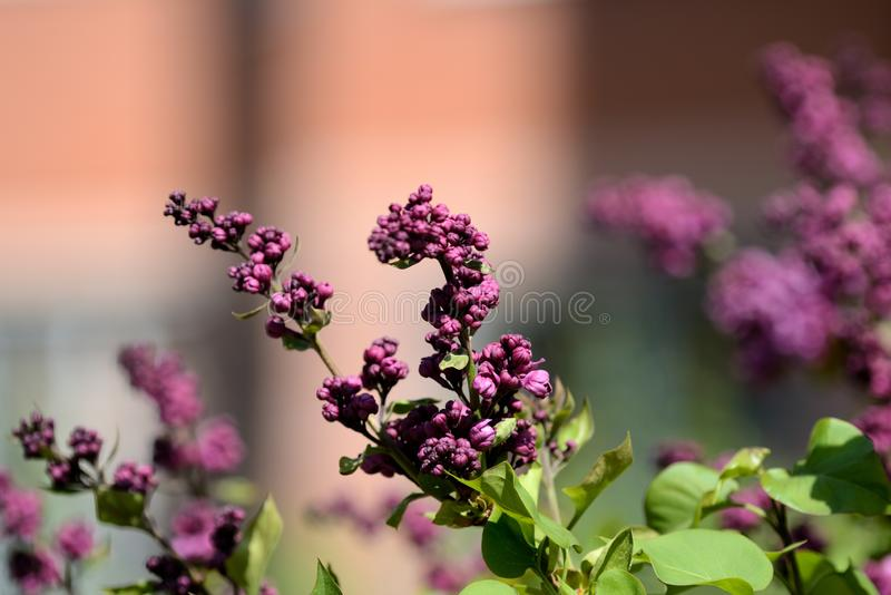 Beautiful lilac begins to bloom in the garden on a sunny spring day. Beautiful lilac begins to bloom in the garden on a bright sunny spring day royalty free stock photo