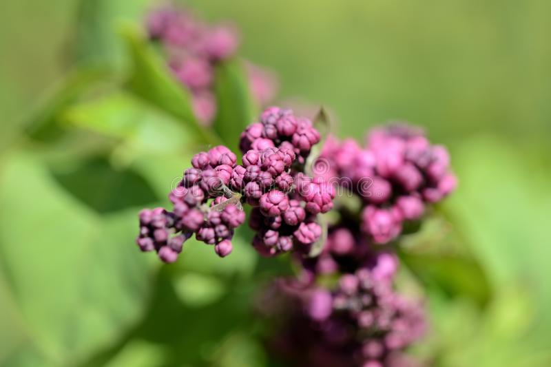 Beautiful lilac begins to bloom in the garden on a sunny spring day. Beautiful lilac begins to bloom in the garden on a bright sunny spring day stock photography