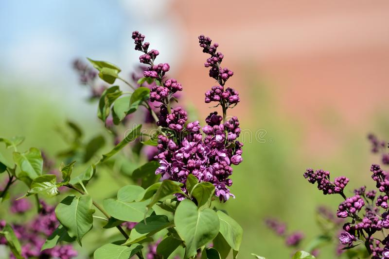 Beautiful lilac begins to bloom in the garden on a sunny spring day. Beautiful lilac begins to bloom in the garden on a bright sunny spring day stock images