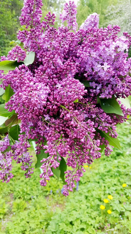 Beautiful lilac bouquet royalty free stock photography