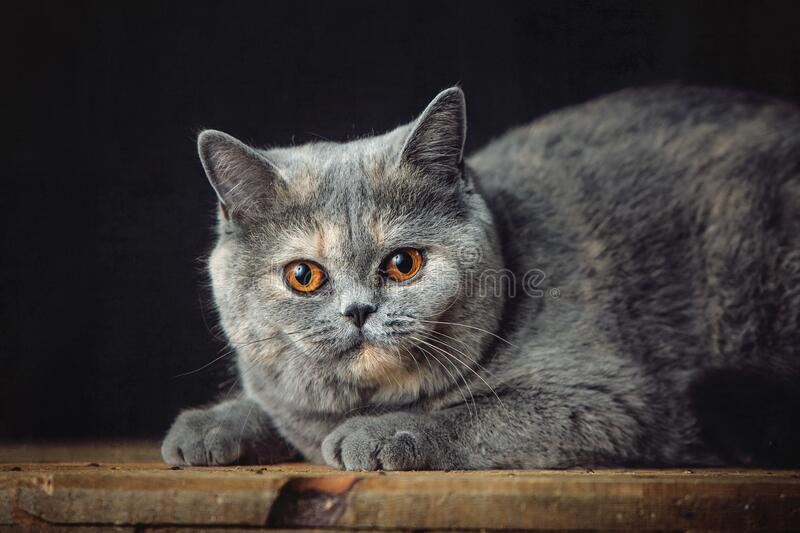 A beautiful Lilac British Shorthair cat stock photos