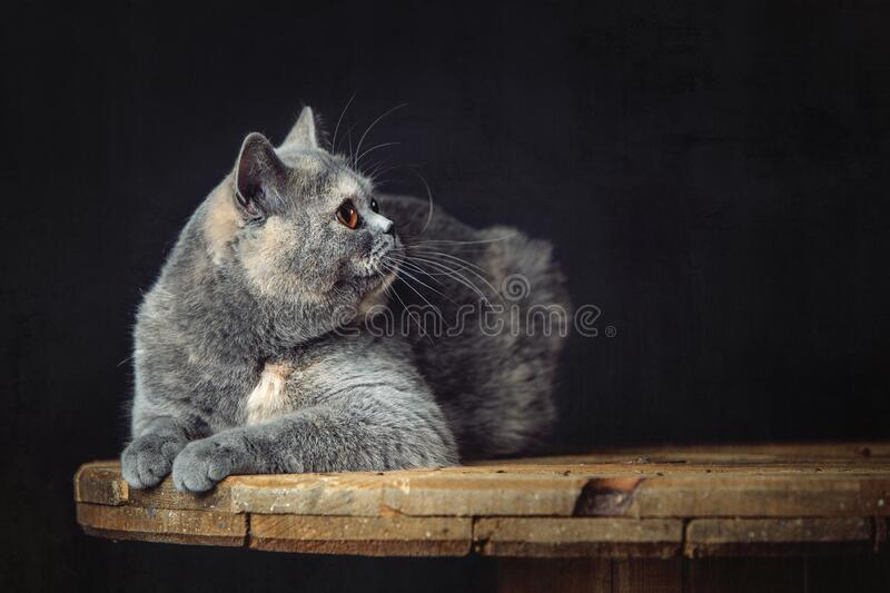A beautiful Lilac British Shorthair cat royalty free stock images