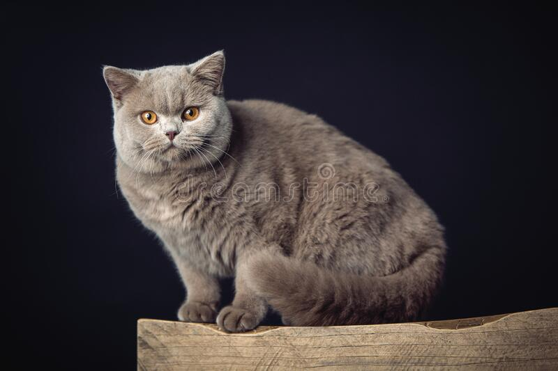 A beautiful Lilac British Shorthair cat on a stool stock images