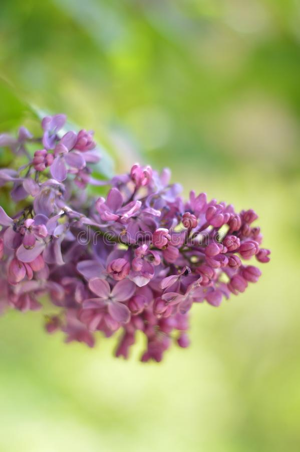 Flower, bush, lilac, purple, green, wood, fragrance, bright smell, leaflet stock image