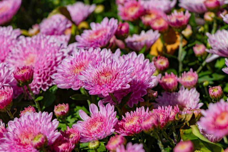 Beautiful lilac chrysanthemum flowers with green leaves stock photo