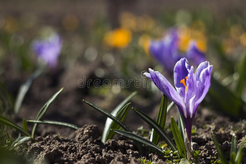Beautiful lilac crocuses bloom in the garden, in the background yellow and white crocuses. Spring flowers background royalty free stock image