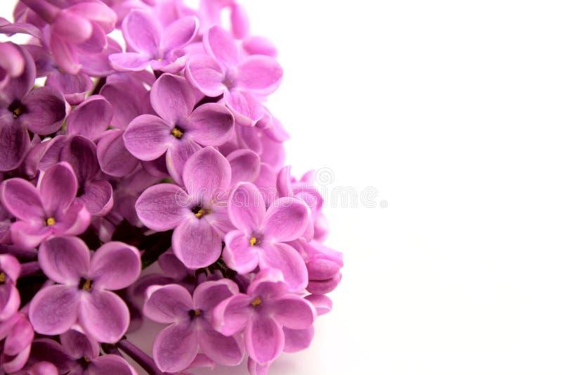 Beautiful Lilac Flower Stock Photos