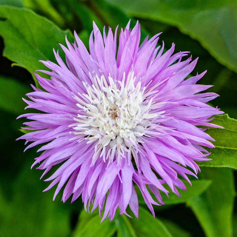 Beautiful lilac flower Cornflower Amberboa Musk stock photography