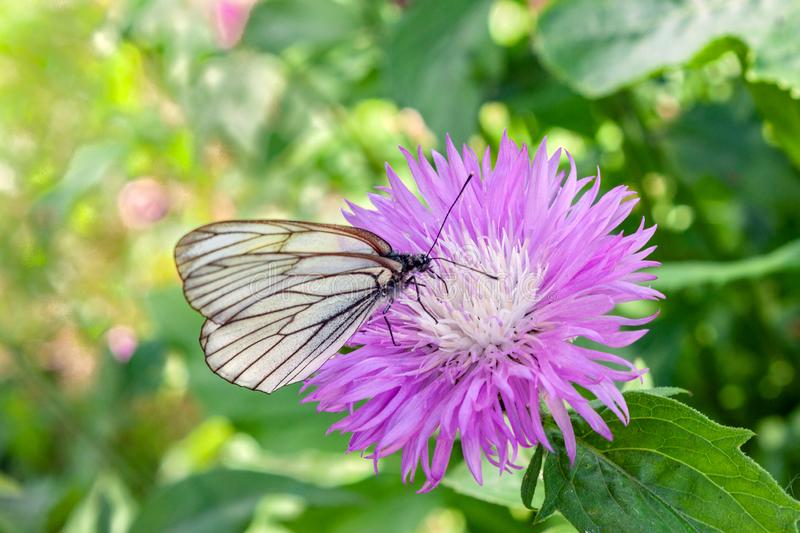 Beautiful lilac flower Cornflower Amberboa Musk. On it sits a white with black butterfly royalty free stock photography
