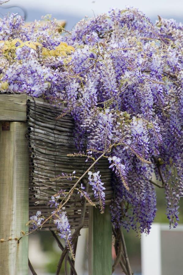 Beautiful Lilac flowers royalty free stock photos