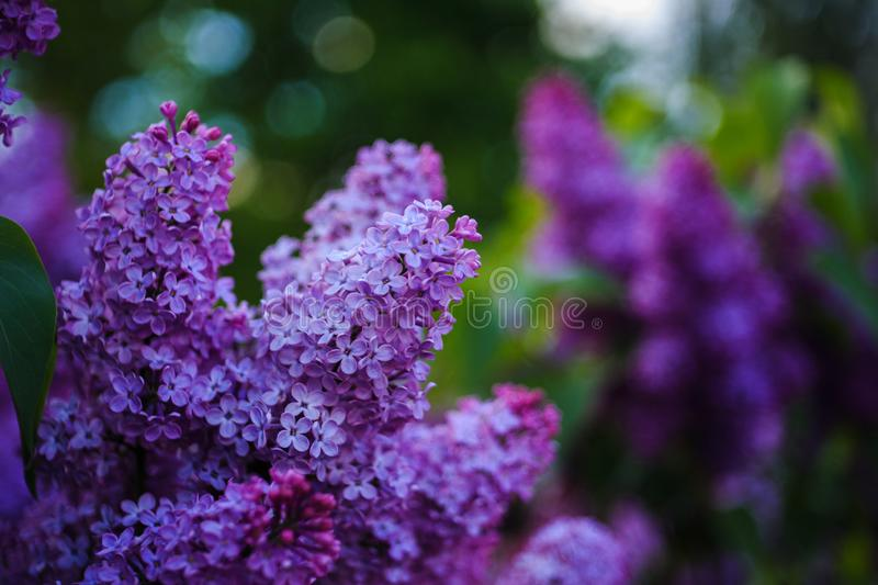 Beautiful lilac flowers blossom on blurry green background royalty free stock photo