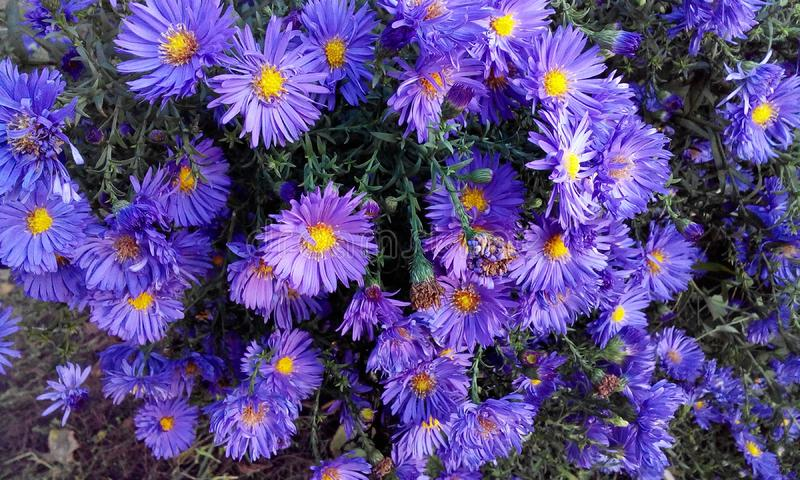 Beautiful lilac perennial aster blooming in the garden. Beautiful small lilac perennial aster blooming in the garden royalty free stock photography