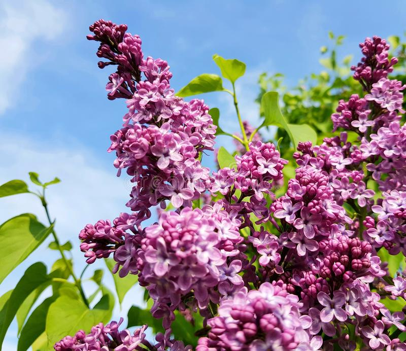 Beautiful lilacs over blue sky. royalty free stock photos
