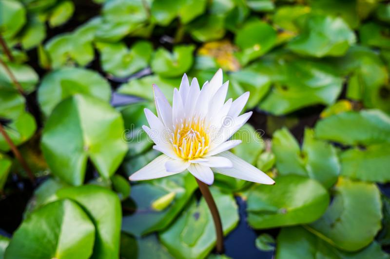 Water Lilly Blooming stock photo