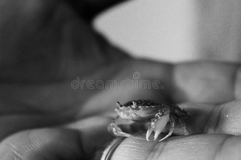 The little crab. This beautiful liltle crab was hiding in bag with little fish shells. In one way He survived so Now He is swimming in the ocean again stock photography