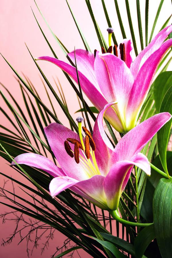 Beautiful Lily flower on pink background. Top view blossom pastel big copy space beauty nature fresh floral plant petal bloom elegance summer natural closeup royalty free stock photo