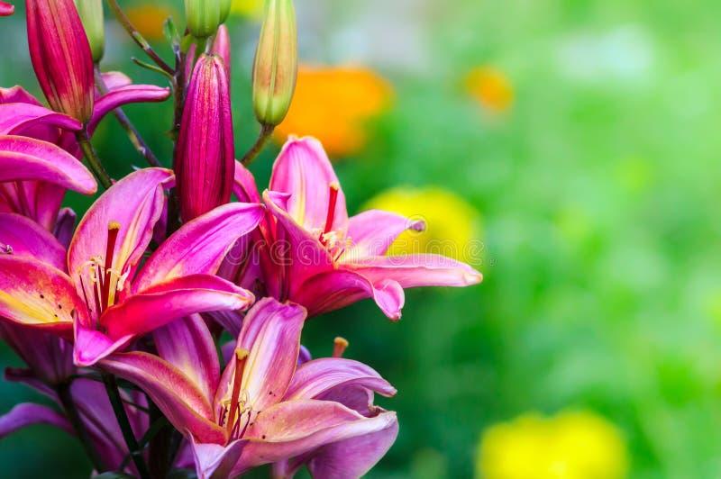 Beautiful lily stock photography
