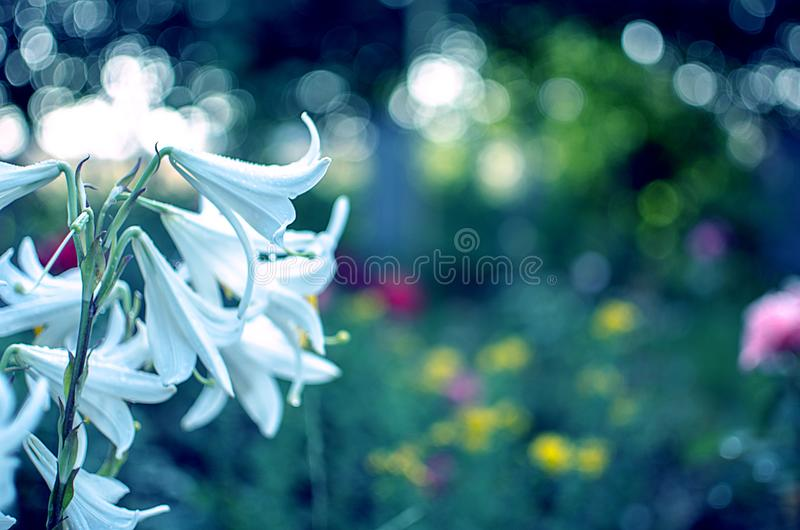 Beautiful lily flowers grow in the summer stock images