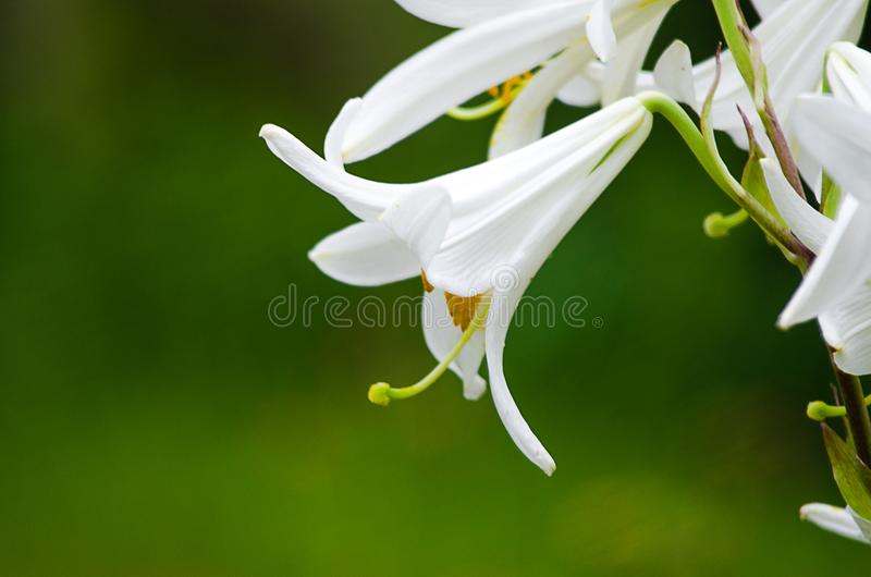 Beautiful lily flowers grow in the summer stock image