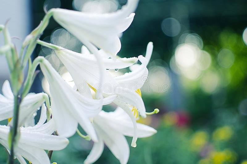 Beautiful lily flowers grow in the summer stock photo