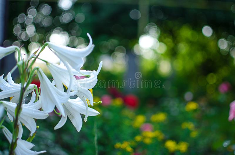 Beautiful lily flowers grow in the summer stock photography