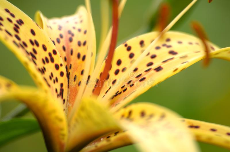 Beautiful lily flowers grow in the summer royalty free stock images