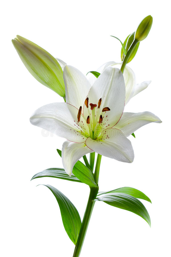 beautiful lily flowers, isolated on white royalty free stock image, Natural flower