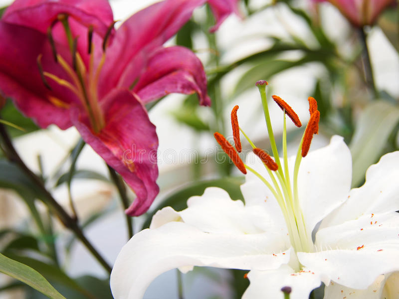 Beautiful lily in the garden. Photo of Beautiful lily in the garden royalty free stock photo