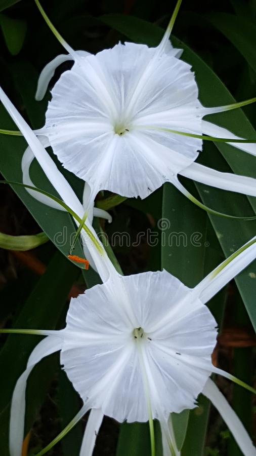 A Twin white Lily is blooming under morning sunshine royalty free stock photo