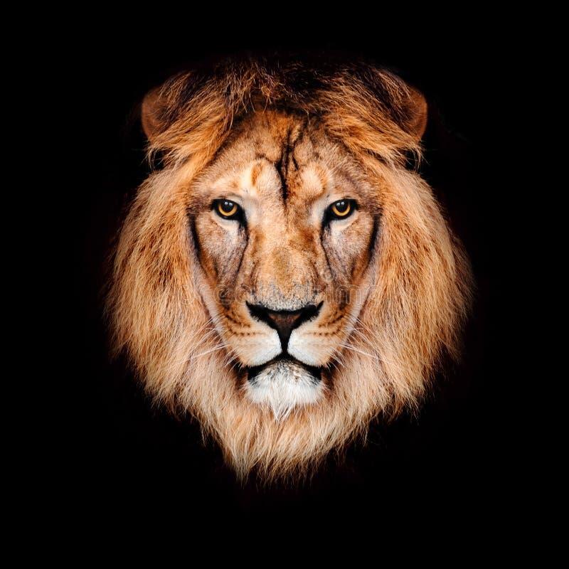 8k Animal Wallpaper Download: Beautiful Lion Stock Photo