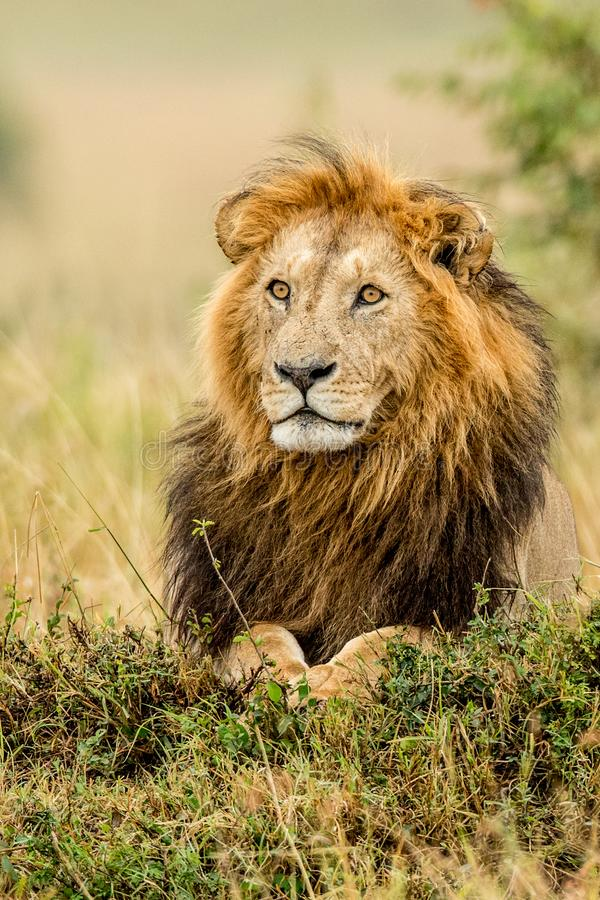 Beautiful Lion Caesar in the golden grass of Masai Mara, Kenya stock photo