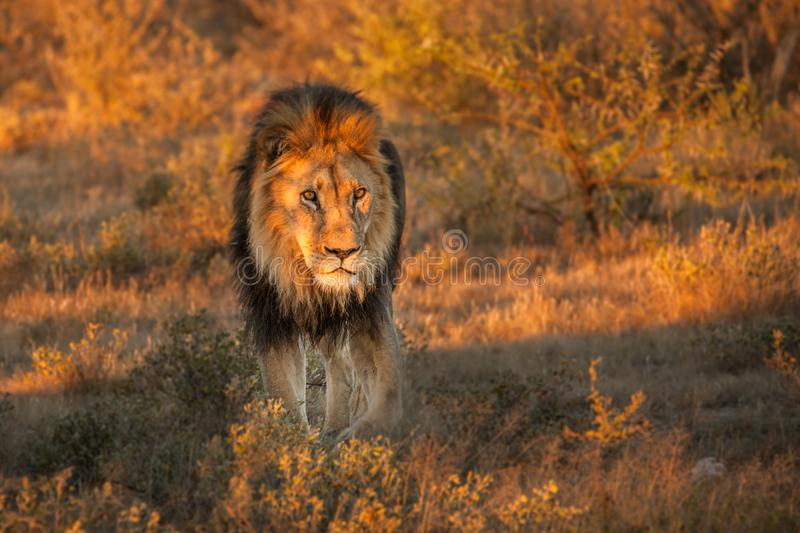 Beautiful Lion Caesar in the golden grass of Masai Mara, Kenya royalty free stock image