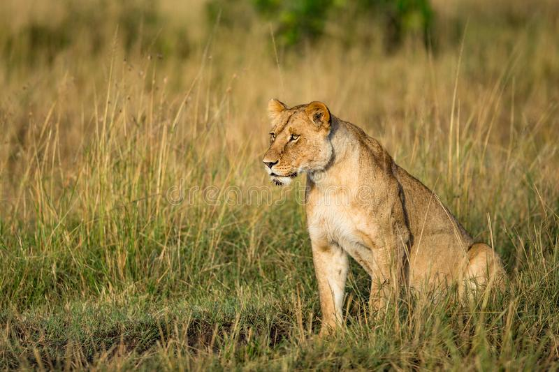 Beautiful Lion Caesar in the golden grass of Masai Mara, Kenya royalty free stock photo