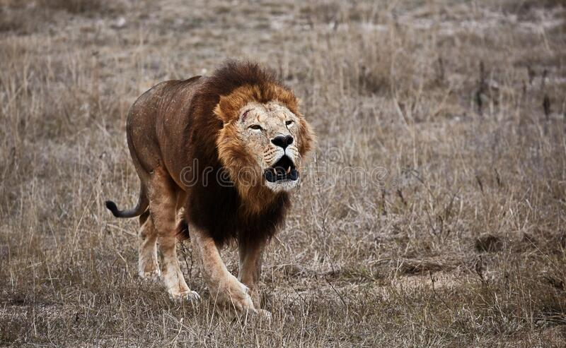 Beautiful Lion Caesar in the savanna. lion`s roar. scorched grass. Portrait of a big cat stock images