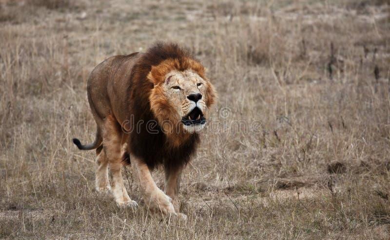 Beautiful Lion Caesar in the savanna. lion`s roar. scorched grass.  stock photos