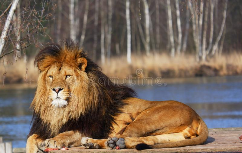 Beautiful lion resting lying meat food lake forest. Brown mane calm king looking royalty free stock photo
