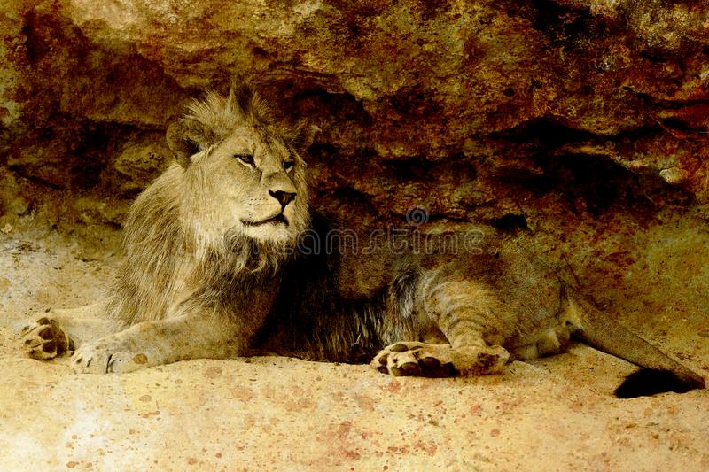 Beautiful Lion resting in the sunshine. sepia effect. royalty free stock image
