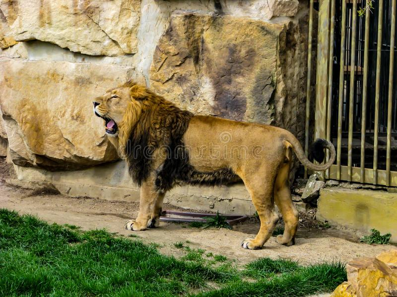 Beautiful lion in sunny day - whole body.  stock images
