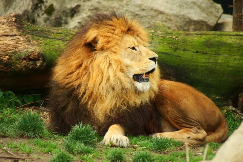 A beautiful lion in the wild natrue royalty free stock photo