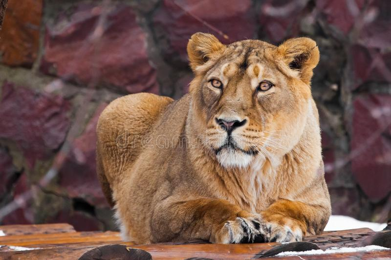A beautiful lioness female lies and looks , dark background royalty free stock photo