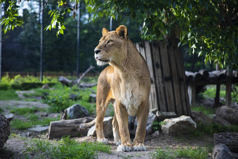 Beautiful Lioness the Queen of Beasts Green Background royalty free stock images