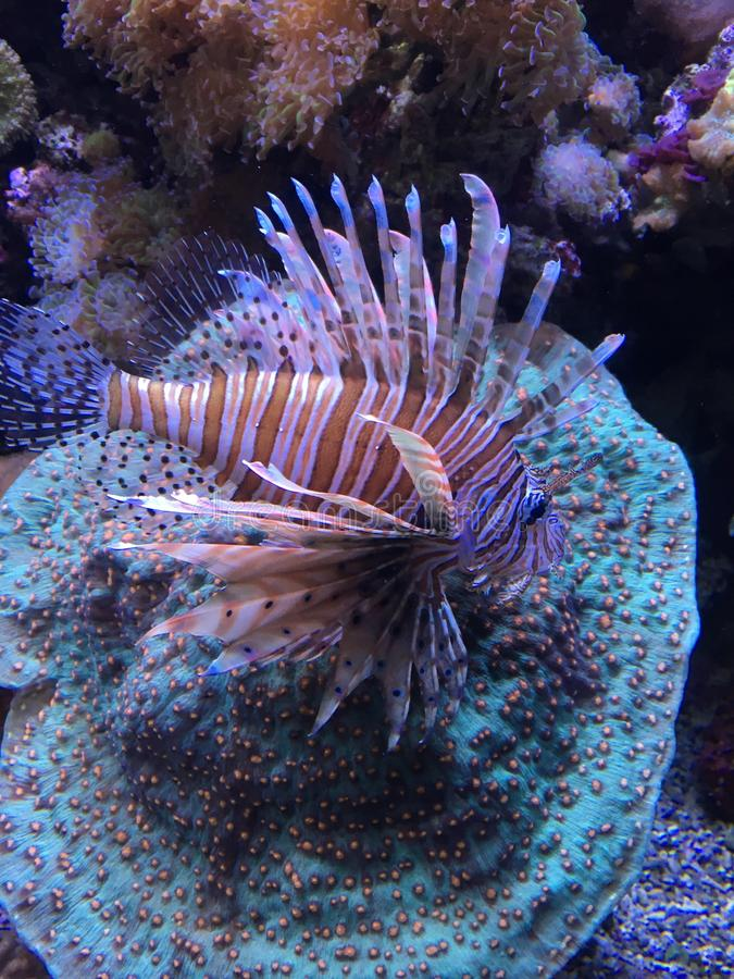 Beautiful Lionfish Swimming on Anemone royalty free stock images