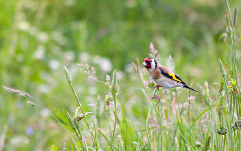 Beautiful little bird goldfinch stay at stem of fl. Ower. Carduelis carduelis stock photo