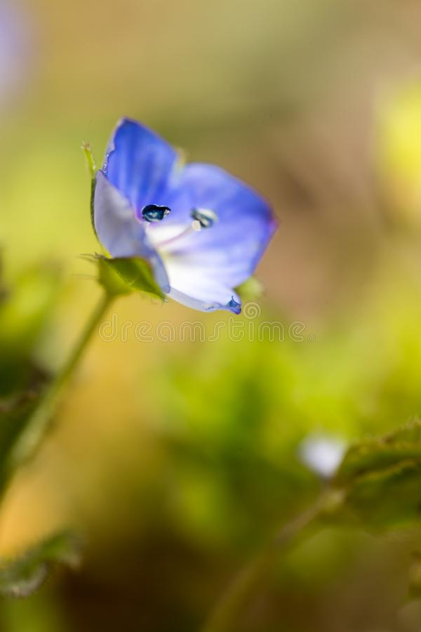 Beautiful little blue flower on nature royalty free stock photography