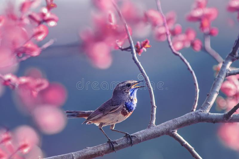 Beautiful little Bluethroat bird with blue throat sits on a blooming rose Bush and sings in the may Sunny garden. Little Bluethroat bird with blue throat sits on royalty free stock photo