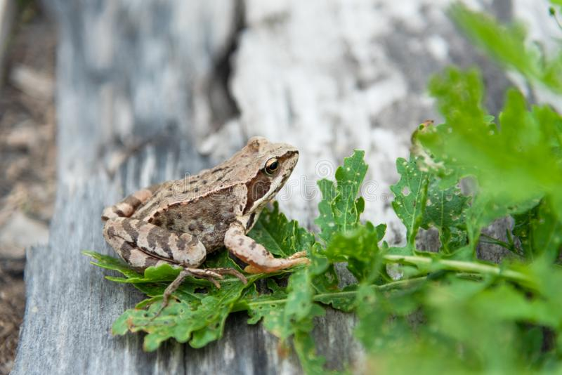 Beautiful little brown frog sits in the grass and on the wood in a bright summer garden. royalty free stock photos