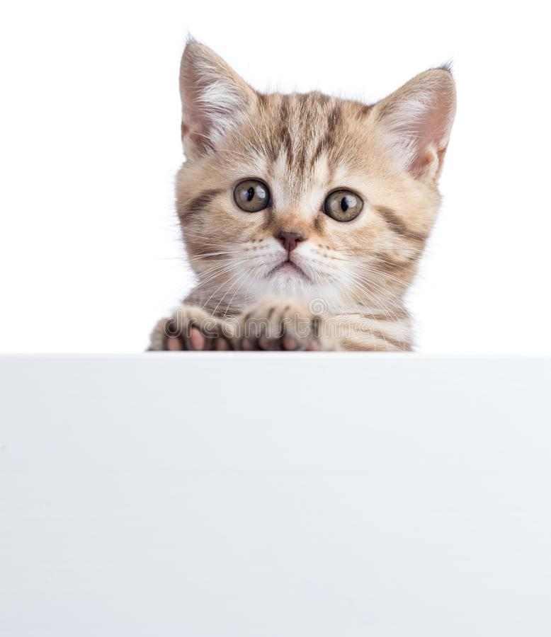 Beautiful little cat gray kitten with white board stock photo