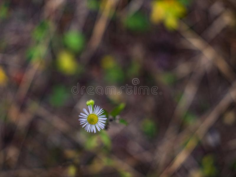 Beautiful little daisy flower on a beautiful blurred background.  royalty free stock photo
