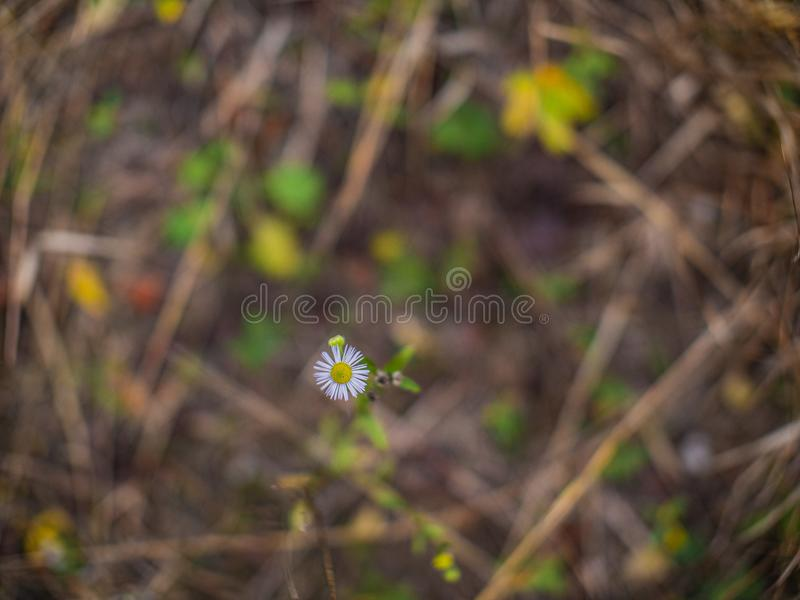Beautiful little daisy flower on a beautiful blurred background.  royalty free stock photos